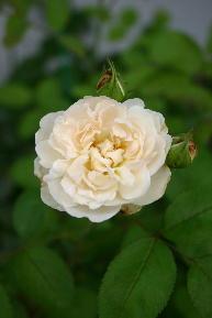 ウインチェスターキャシドール 二番花