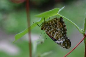 朝顔と ツマグロヒョウモン蝶
