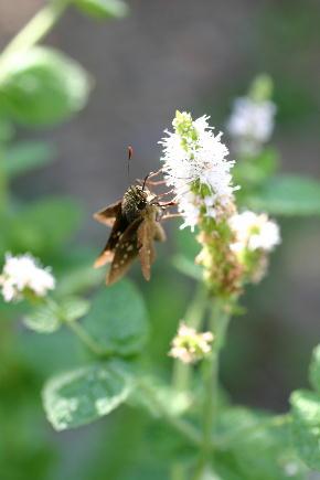 スペアーミントとセセリ蝶