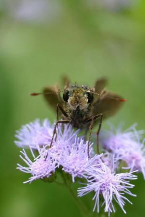 宿根アゲラタムとセセリ蝶