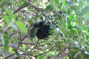 ヒヨドリの巣