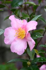 山茶花 薄ピンク