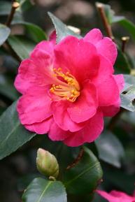山茶花 濃いピンク