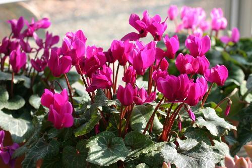 50本以上の花芽が...ガーデンシクラメン