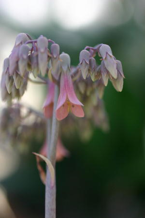 ハカラメ開花