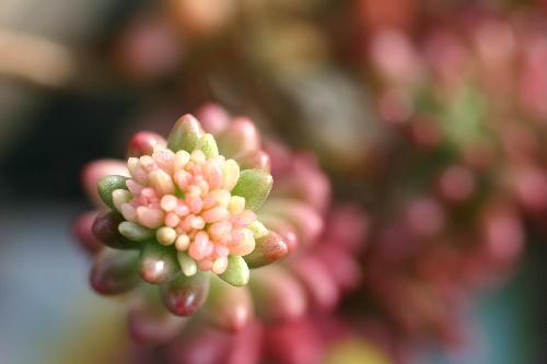 虹の玉 花芽